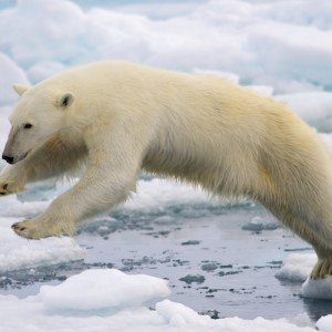 A polar bear struggles to stay afoot on shifting ice.