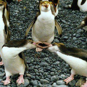 Two rockhopper penguins lock beaks in an argument.