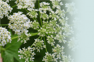 Closeup of a flowering plant with small white buds.