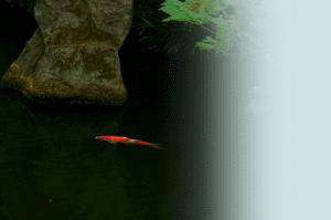 Koi fish in pond.