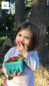 Little girl eating Strawberries at The Strawberry Festival at Lee Farms