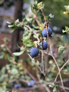 Plums on a plum tree, Garlic Lemon Plum Puree a recipe from Stahancyk, Kent & Hook